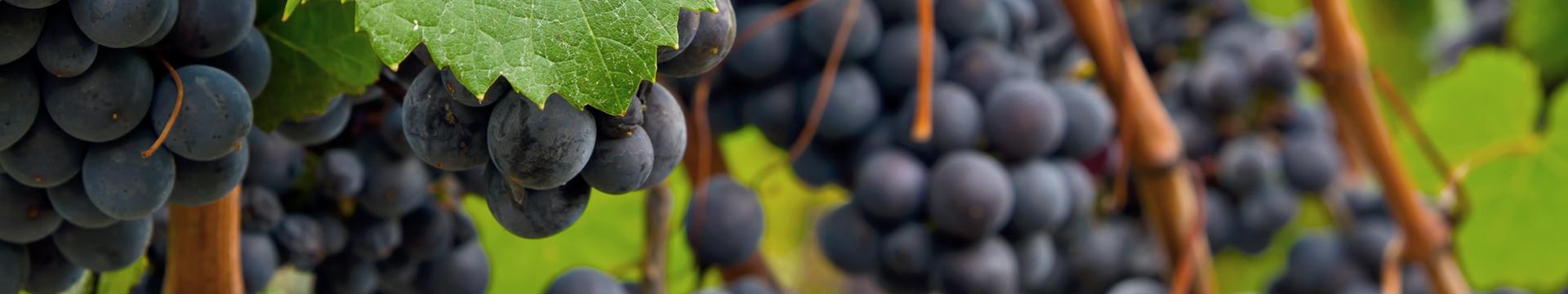 Всичко за винопроизводителя от А до Я...